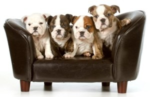 Puppy info litter of bulldogs