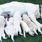 Be Prepared For Dog Breeding