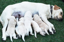 labrador and puppies dog breeding