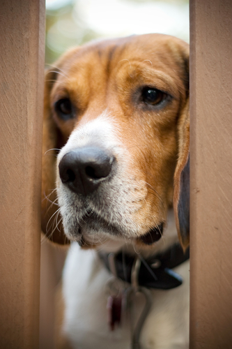 Dog Behavior Problem: Separation Anxiety