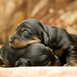 Causes of Puppy Death