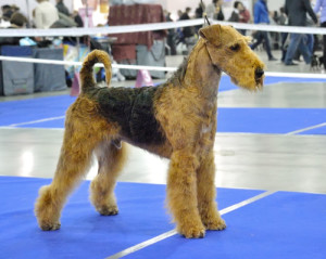 dog show ready Airedale