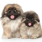 How to pick a new Terrier, cocker or Pekinese pups.